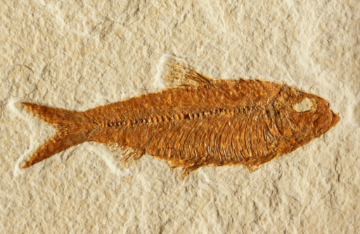 Diplomystus dentatus Herring Species Eocene Epoch 50,000,000 years old Green River Formation Lincoln Co. Wyoming Diploaystus dentatus Herring Eocene period 50,000,000 years old Green River Formation Lincoln Co., Wyoming